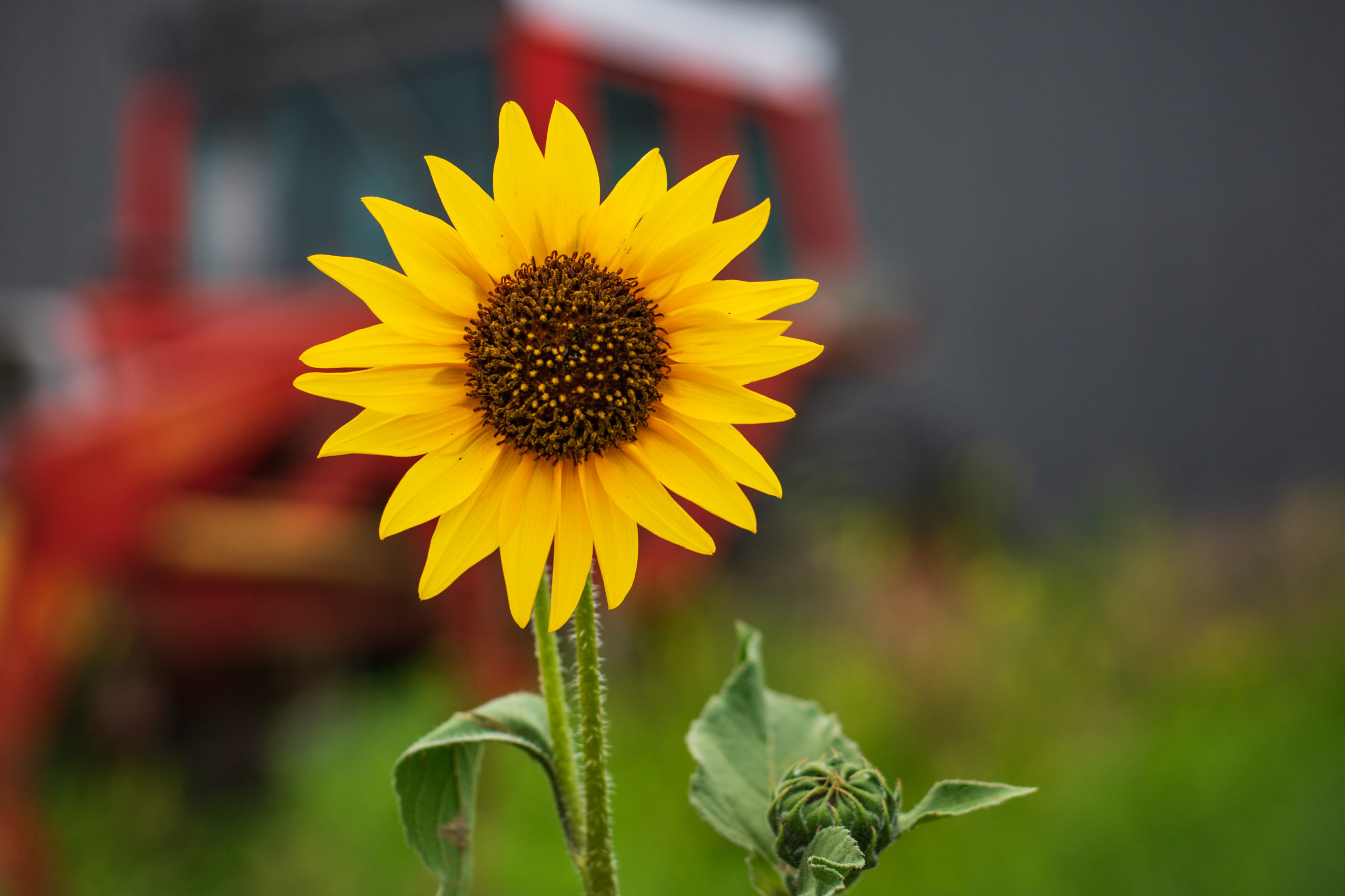 Close up photo of a sunflower with a tractor in the background.